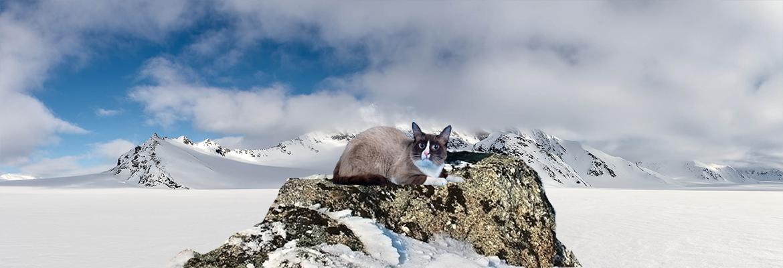 Породы кошек Сноу шу