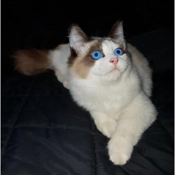 Паула Снежный Ангел. Кошечка породы Сноу Шу